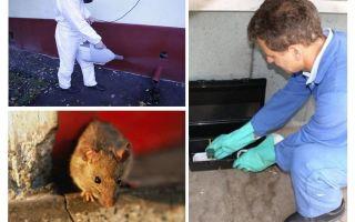 Penghapusan tikus dan tikus oleh perkhidmatan khusus