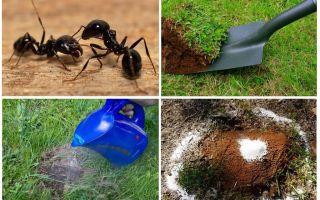Bagaimana untuk menghilangkan semut di ubat kebun rakyat