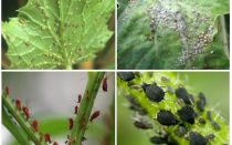 Bagaimana menangani aphids di taman dan di taman ubat-ubatan rakyat