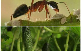Bagaimana untuk menangani semut di taman dengan timun
