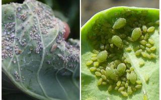 Bagaimana dan bagaimana untuk memproses aphids pada kubis