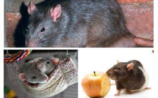 Fakta tikus yang menarik
