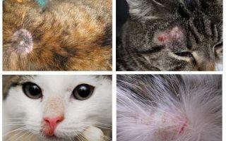 Kenapa gatal kucing jika tiada kutu