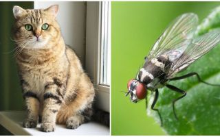 Apa yang perlu dilakukan jika seekor kucing atau kucing makan lalat