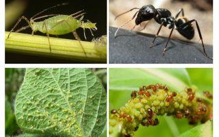 Jenis hubungan semut dan aphids