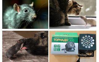 Apakah tikus dan tikus takut?