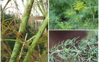 Apa dan bagaimana untuk menghilangkan aphids dalam Dill