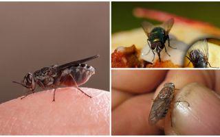 Mengapa lalat tanah pada manusia?