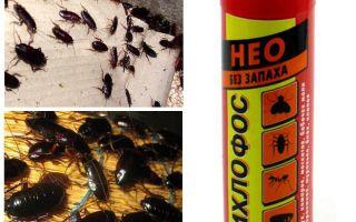 Adakah dichlorvos dari kecoa membantu - bagaimana racun