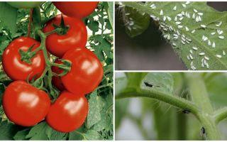 Cara memproses tomato dari lalat putih dan hitam