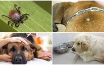 Gejala dan rawatan piroplasmosis pada anjing