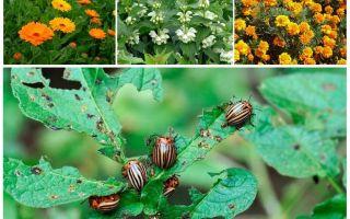 Memerangi kumbang kentang Colorado tanpa kimia