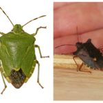 Bug kayu