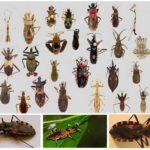 Pemangsa bedbugs