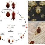 Tahap perkembangan bedbugs