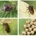 Bug hutan