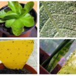 Blackflies dalam tumbuh-tumbuhan dalaman