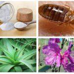 Pemulihan rakyat untuk bedbugs