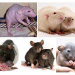 Tikus hiasan
