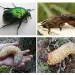 Larva daripada kumbang May dan Medvedka