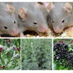 Herba dari tikus