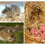 Gaya hidup tikus