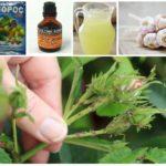 Pemulihan rakyat untuk aphids