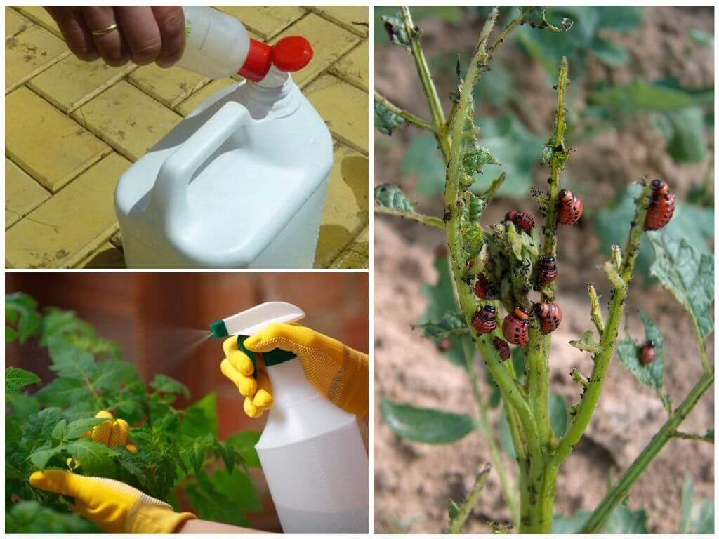 Bahan kimia terhadap kumbang kentang Colorado