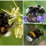 Bumblebees yang berwarna-warni