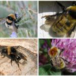 Bumblebees dengan warna abu-abu