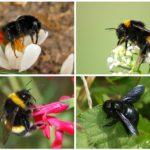 Spesies bumblebee
