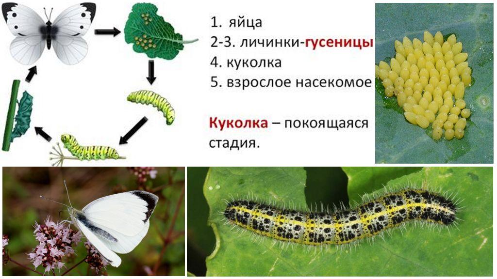 Kitaran Pembangunan Butterfly Bowl