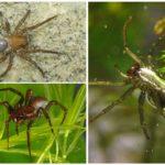 Perak Spider